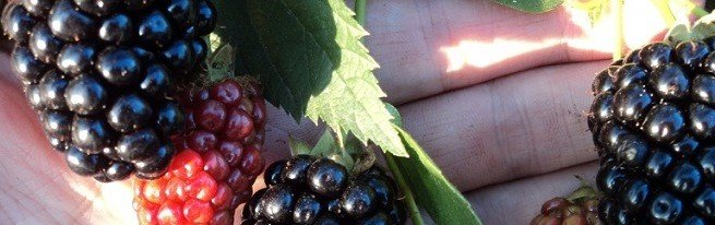 Ежевика и ее полезные свойства или настоящая кладезь витаминов в вашем саду