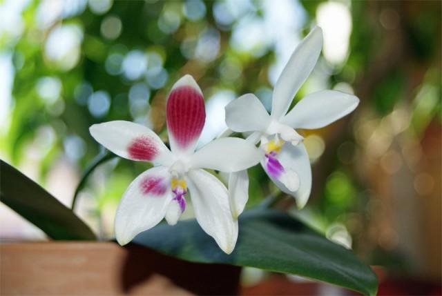 Фаленопсис четырехщитковый можно выращивать как в специальных емкостях для орхидей, так и на блоках