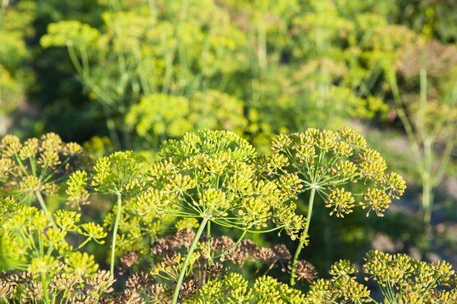 Созревание семян фенхеля неравномерно