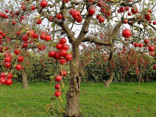 На фотографии яблоня