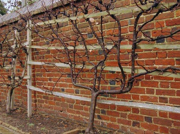 На фото крона яблони вертикальная пальметта