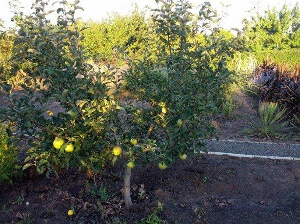 Фотография яблони