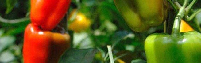 Где лучше всего выращивать перец – в домашних условиях, в теплице или в открытом грунте?