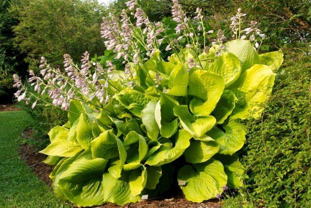 Гигантские хосты — великолепные акценты для маленьких и больших садов
