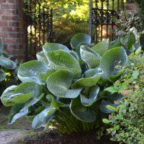 Хосты-гиганты идеальны для регулярных садов и проектов в современных стилях