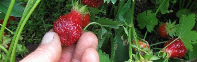 Голландская технология для круглогодичного урожая клубники
