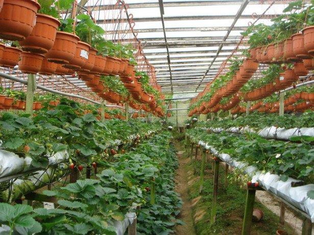 На фото выращивание клубники круглый год