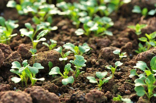 Положительное воздействие сидератов на почву и преемников доказано неоднократно