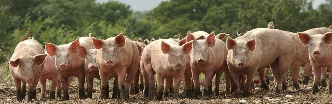 Домашний бизнес свиноводство – откорм животных и уход за ними