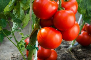 Индетерминантные сорта и гибриды томатов выигрывают и по массе, и по разнообразию форм, и по выбору цвета, и по вкусу плодов