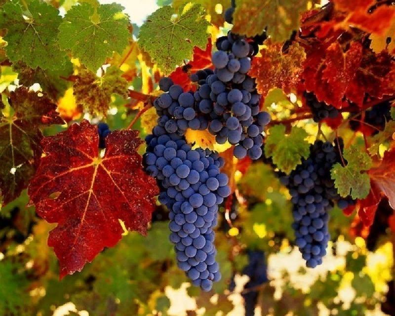 12 винных сортов винограда, которые можно вырастить в средней полосе России