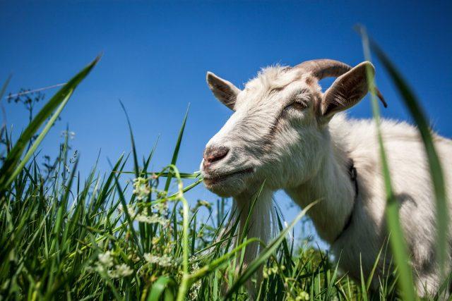 Если есть пастбище, то летом вопрос кормления коз, вообще, отпадает