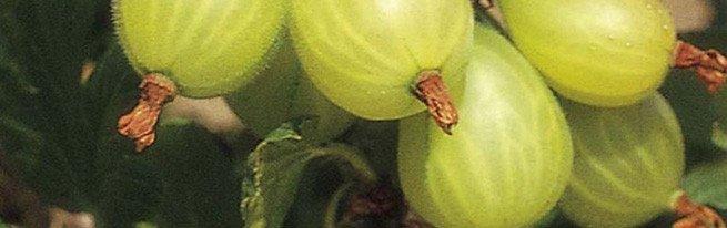 Отводками или черенками – как лучше всего размножать крыжовник?