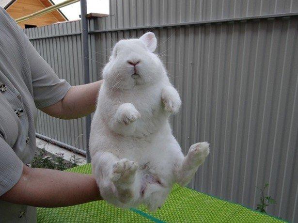 Как осматривать гениталии кроликов