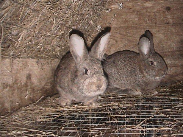 Как определить пол кролика при покупке фото