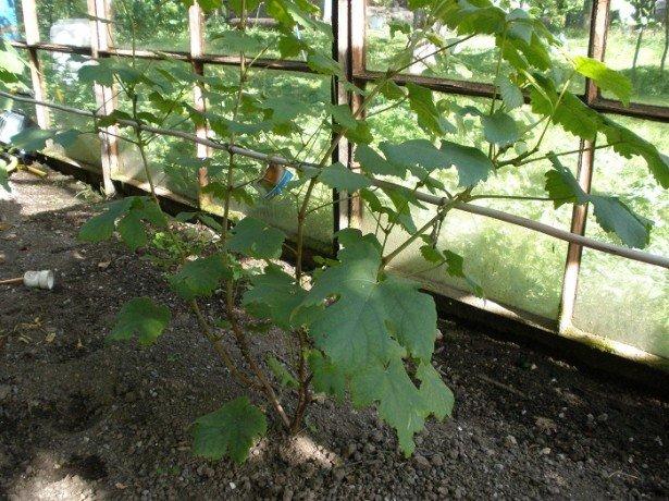 На фото, подвязанный куст винограда