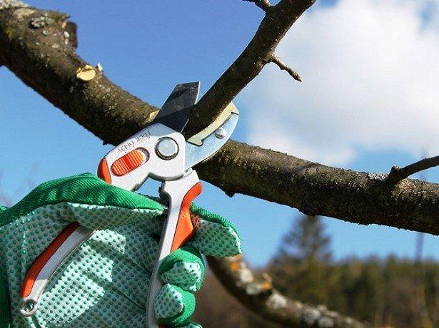 Фотография обрезки вишни