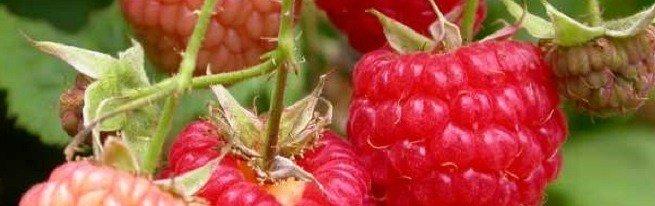 Как организовать эффективный уход за малиной осенью в два этапа
