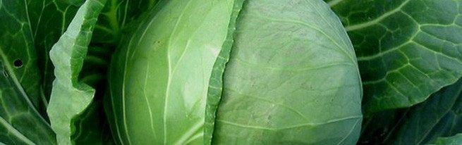 Как сажать капусту на рассаду - пошаговая инструкция
