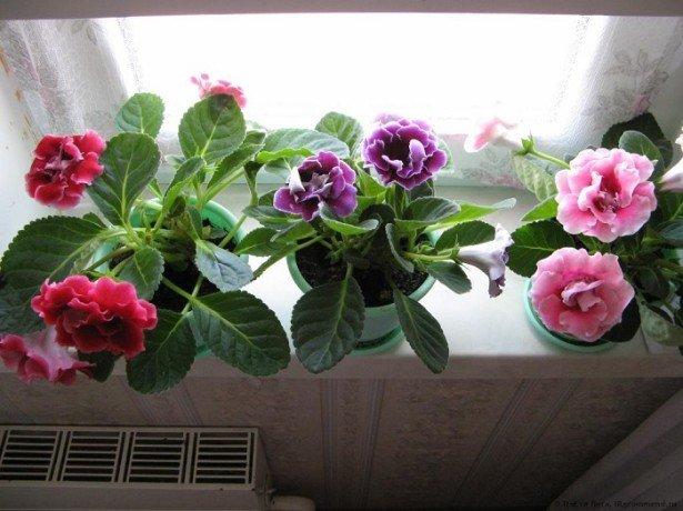 Как ухаживать за глоксинией в осенне-зимний период фото
