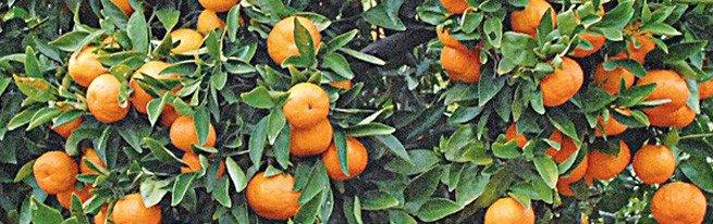 Как вырастить мандарин на приусадебном участке