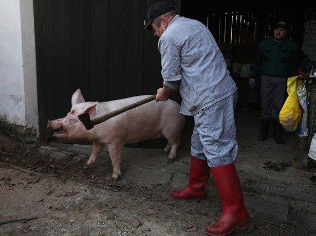 Фото забоя свиньи