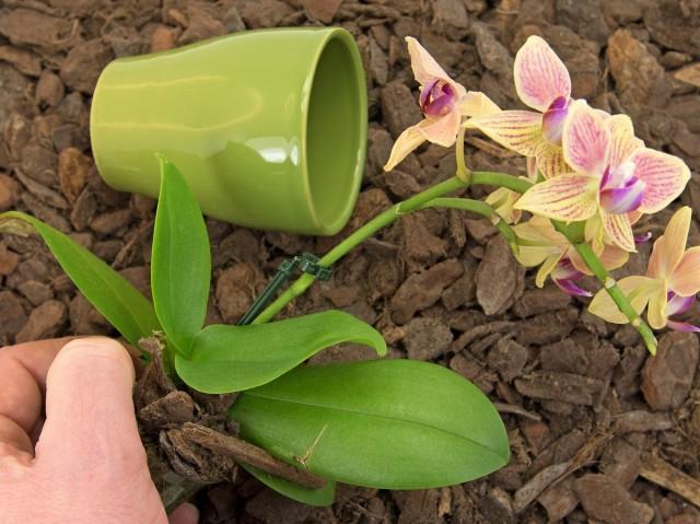 Очень важно подобрать правильную ёмкость, в которой будет расти орхидея