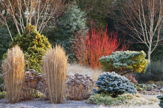 Неповторимое украшение зимнего сада - метелки декоративных трав и щитки очитка