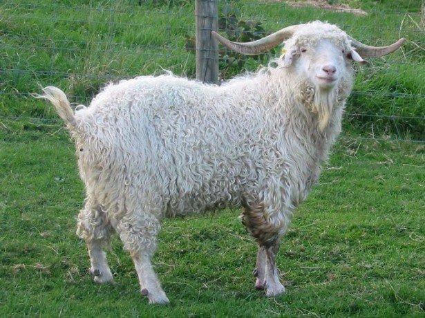 Фото ангорской козы