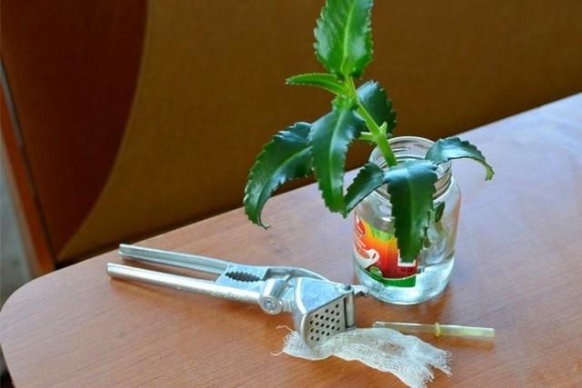 Для получения настоя каланхоэ чистые листья и стебли растения измельчают и заливают кипящей водой