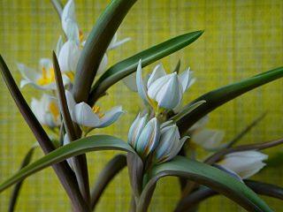 Тюльпан многоцветный (Tulipa polychroma), или Тюльпан двуцветковый (Tulipa biflora)