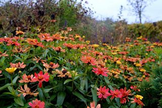 Осенью цветки цинний меняют цвет