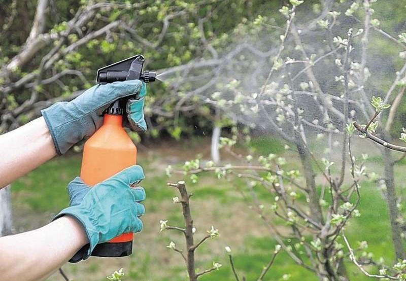 Чем опрыскивать вишню до и во время цветения