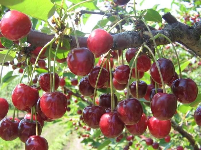 виды и сорта вишни