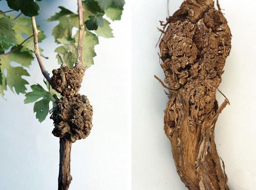 Возбудитель рака винограда