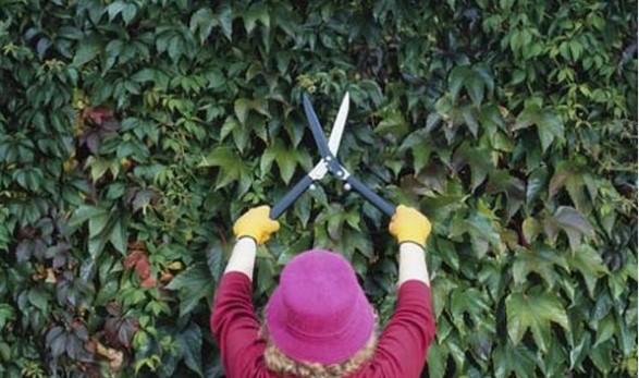 Механическое удаление дикого винограда