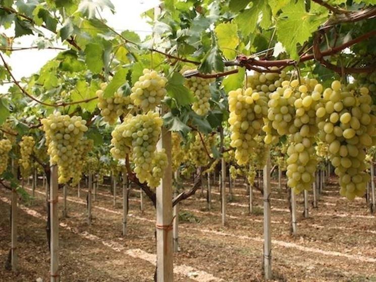 Для чего проводится прививание винограда