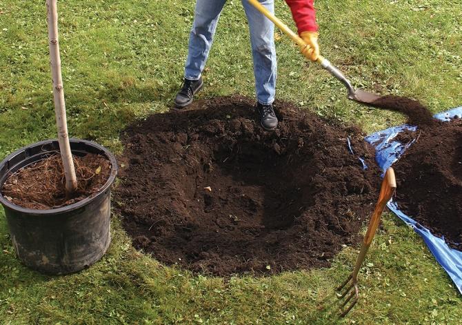 как правильно посадить вишню осенью