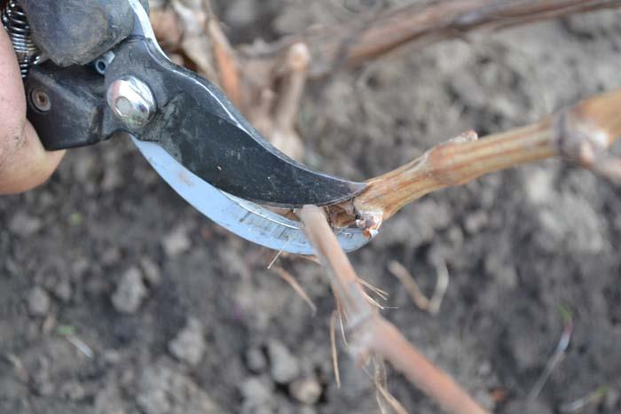 Для чего проводится обрезка винограда