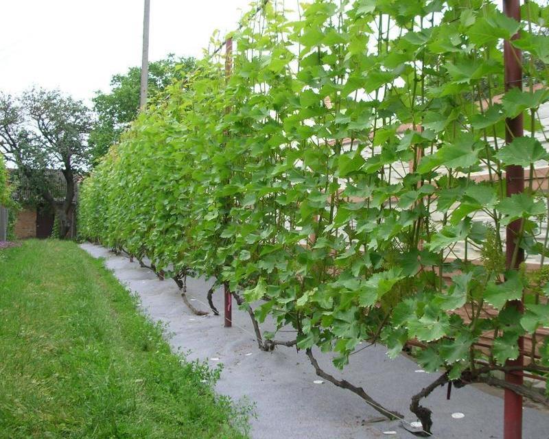 Способ формирования винограда
