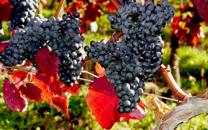Причины, почему лопается виноград