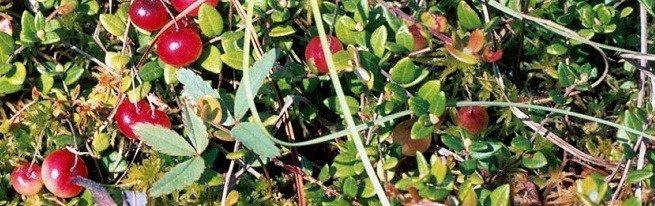 Почему клюква болотная не может расти в саду или что нужно знать для успешного выращивания этой ягоды