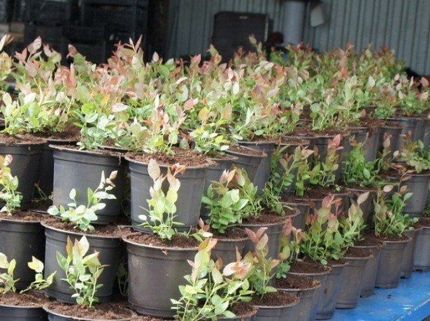 Выращивание клюквы крупноплодной из саженцев