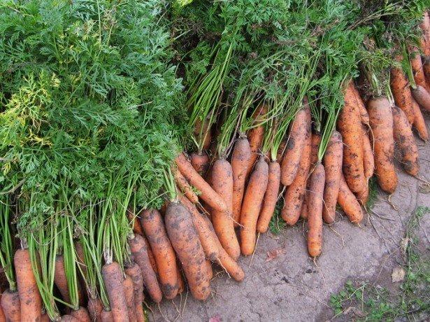 Когда нужно собирать морковь?