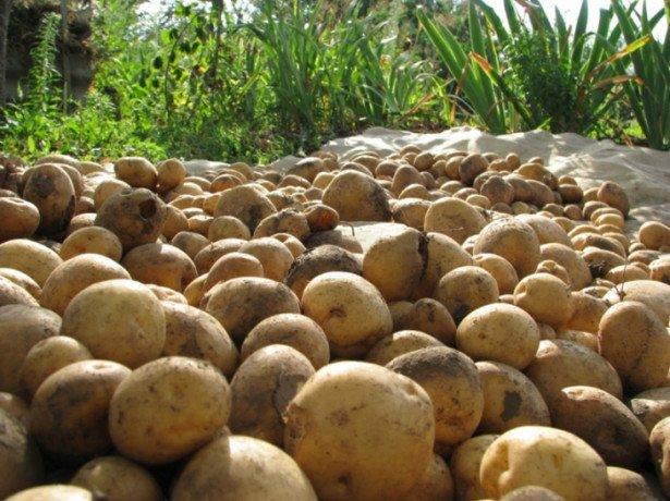 На фото выкопанный картофель