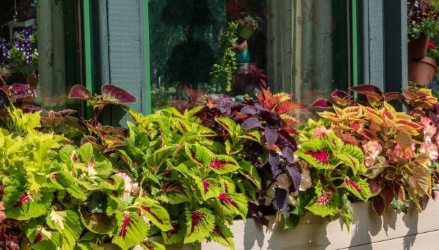 Колеусы - идеальны для балконного озеленения