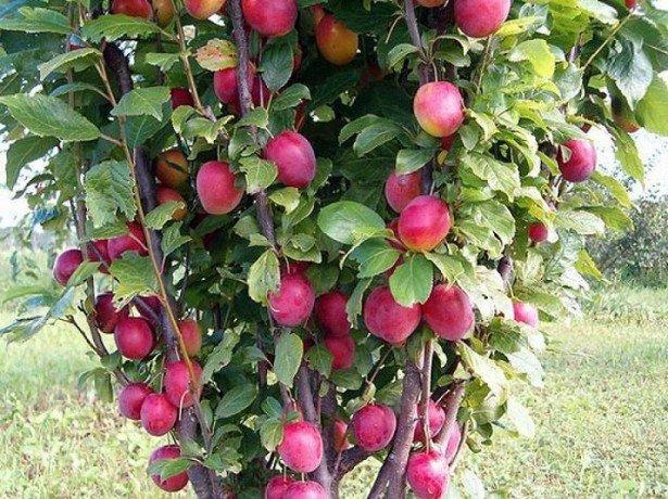 На фото колоновидная яблоня