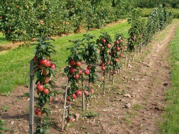 Фотография яблонь