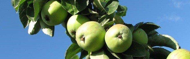 Колоновидная яблоня и карликовая – особенности деревьев, правила посадки и ухода