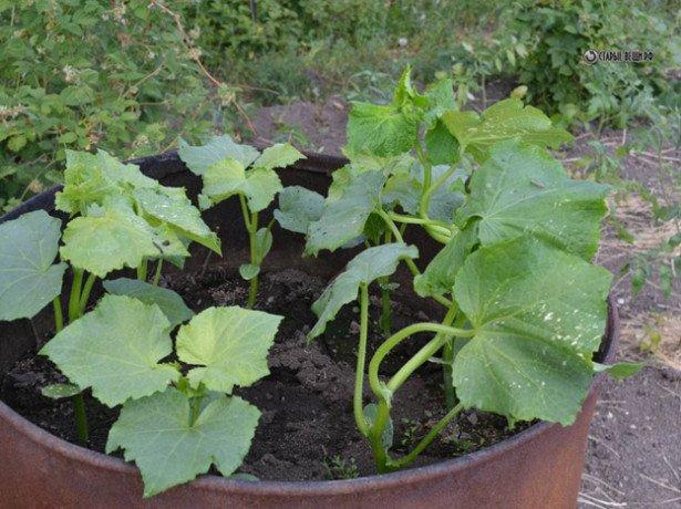 На фото выращивание огурцов в бочке